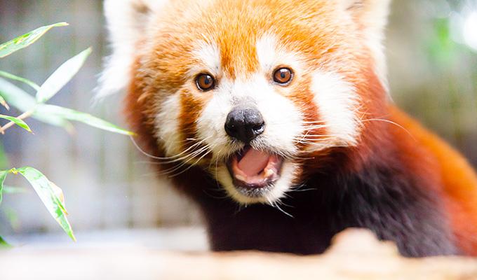 飼育 を し 日本 いる は 動物園 で 唯一 て レッサーパンダ ニシ
