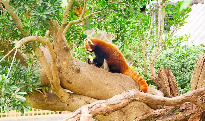 を 日本 ニシ レッサーパンダ 動物園 いる で 唯一 は て 飼育 し